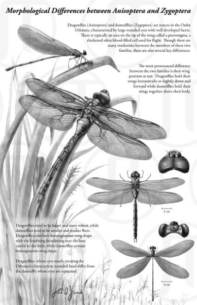 Morphological Differences Between Anisoptera and Zygoptera