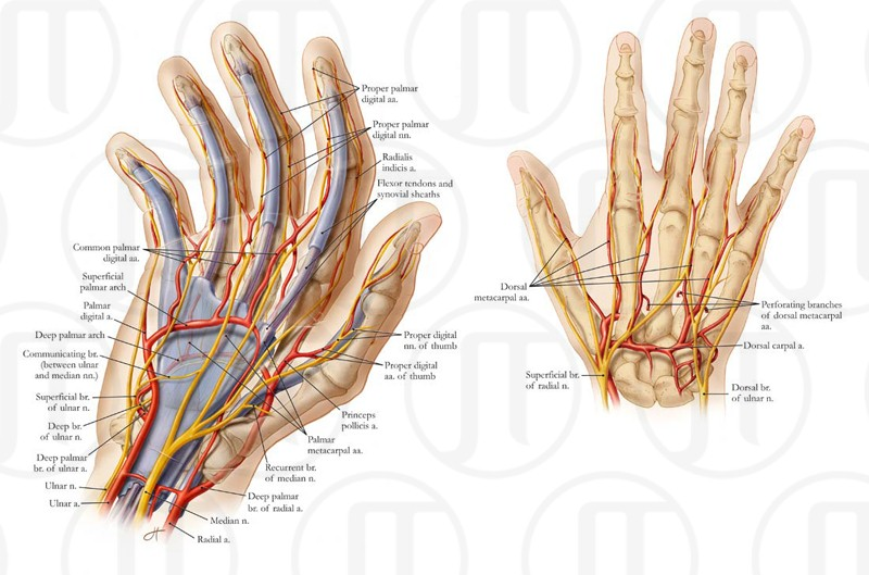 Neurovasculatre of the Hand
