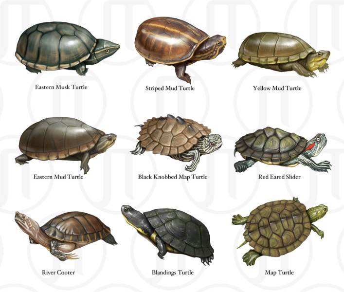 Turtles of North America